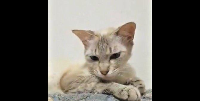 他の猫の子を救った愛情深い小柄な猫「小夏」