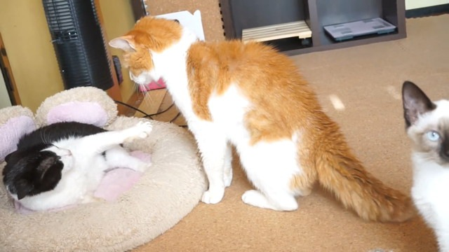 猫の喧嘩を初めてみた猫ちゃん