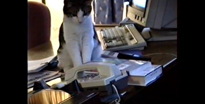 「電話ニャ!」オフィスの電話番をする猫ちゃん