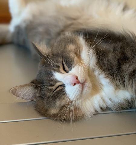 猫はなぜもふもふなのか?猫の毛の役割や種類とは