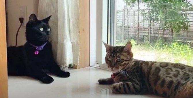 じゃれ合うベンガル猫さんと黒猫さん♡お互いに好きなのかな?