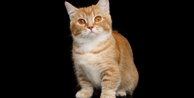 短足が可愛い猫の種類8選のご紹介!