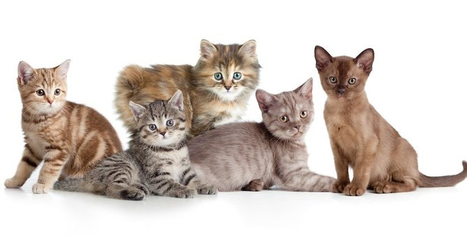 子猫の種類、何が人気?ランキングで一挙公開