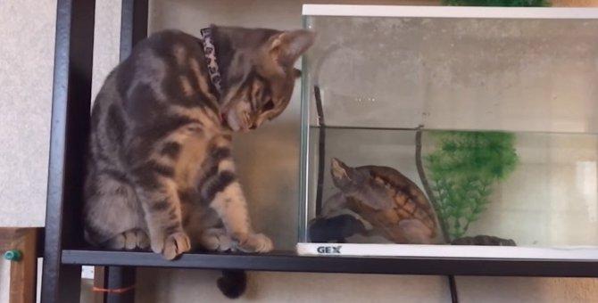 亀さんのことが気になる猫ちゃん