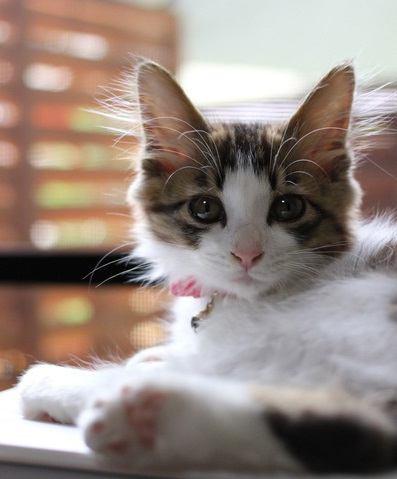 抜け毛が少ない猫の種類6選
