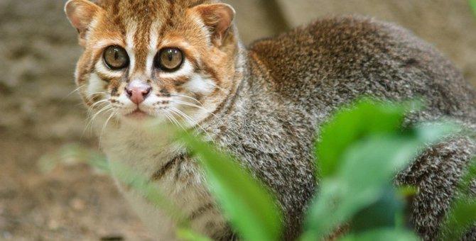 マレーヤマネコってどんな猫?不思議で超絶可愛い♡