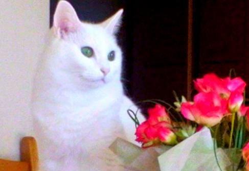 未熟児の華奢な子猫…先住猫に愛され美しい白猫に成長