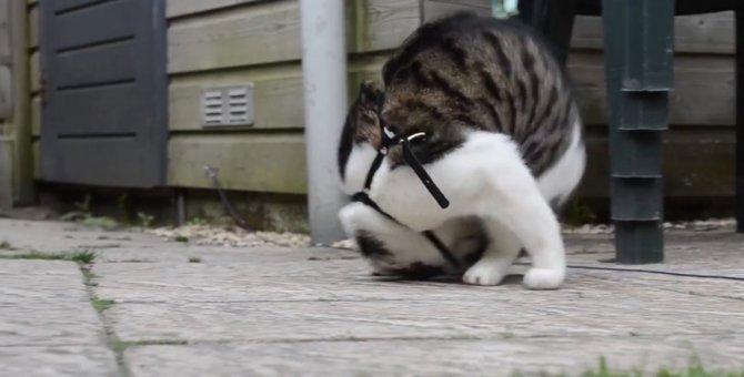 どやっ!でんぐり返しが得意な猫ちゃん