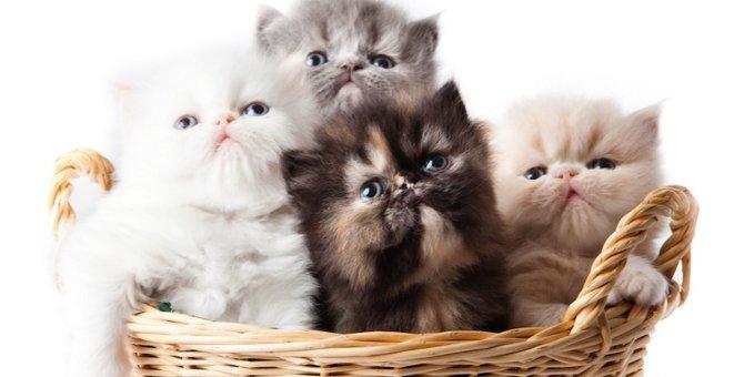 エキゾチックロングヘアーはどんな猫?特徴や性格、飼い方までご紹介