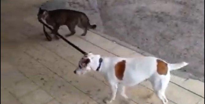 「ほら!しっかりついてくるにゃ!」犬の散歩をする猫