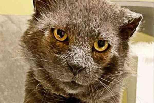 皮膚が剥がれ落ちる猫…治療で回復した後の変化に感動!