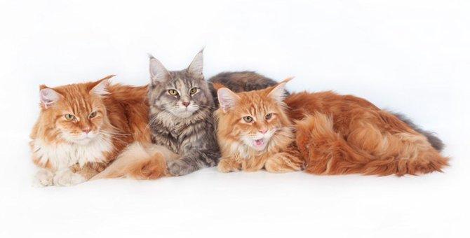 毛の長い猫種5選!代表的な種類と飼い方