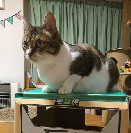 猫が段ボールに愛着を持つのはなぜ?4つの理由