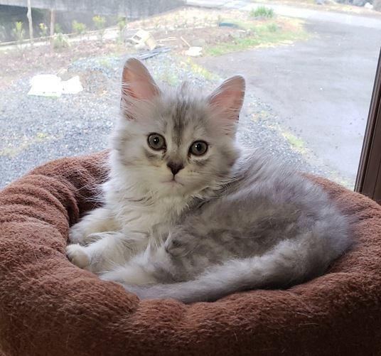 おっとり♡温厚で静かな猫の品種4選