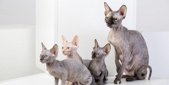 スフィンクスはどんな猫?性格や特徴、色の種類など