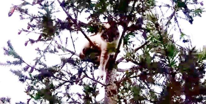 コヨーテに追われ木に登った猫…高さ30メートルから救出!