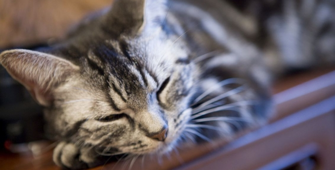 おとなしい猫を飼いたい人におすすめの品種7選