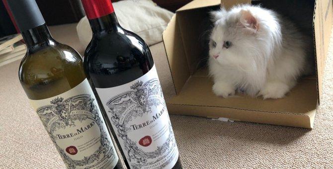 猫がアルコールを飲んでしまったら?すぐに病院に連れて行くべき?