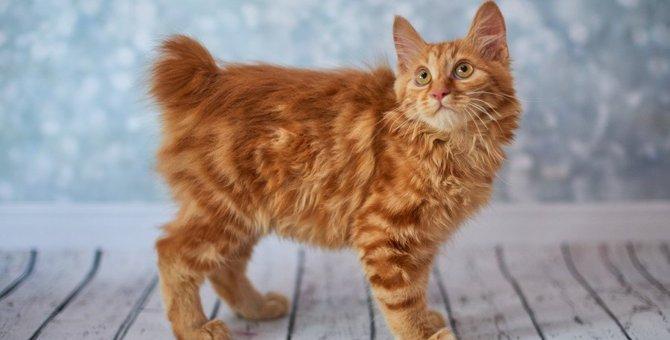 アメリカンボブテイルの子猫がかわいい!お迎えする時の値段や飼い方について