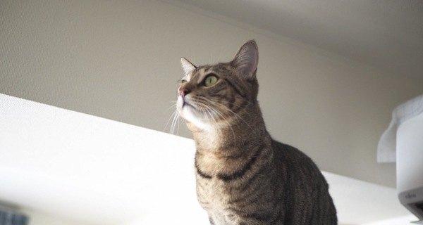 猫が高いところが好きなのはなぜ?理想の高さはどのくらい?