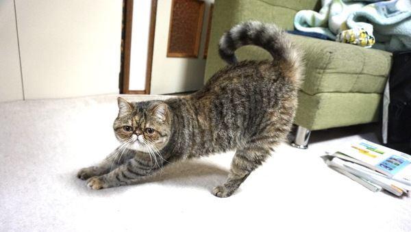 猫がビヨーンと「伸び」をする理由5つ