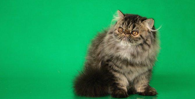 黒いペルシャ猫の毛色の種類は?瞳の色や性格についても解説