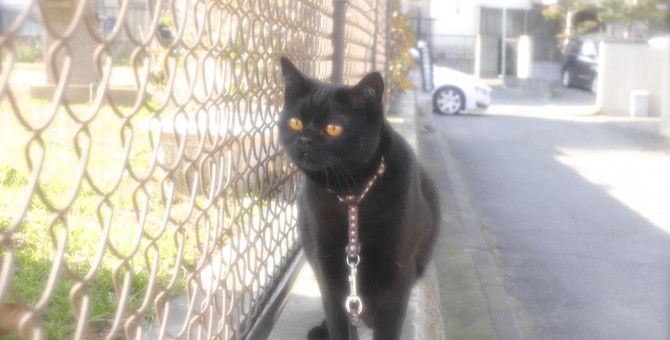 瞳が綺麗な黒猫ボンベイの里親になったお話