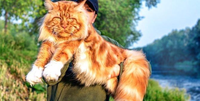 大きくて優しい猫『メインクーン』を画像で!巨大なぬいぐるみのようなネコ達もご紹介