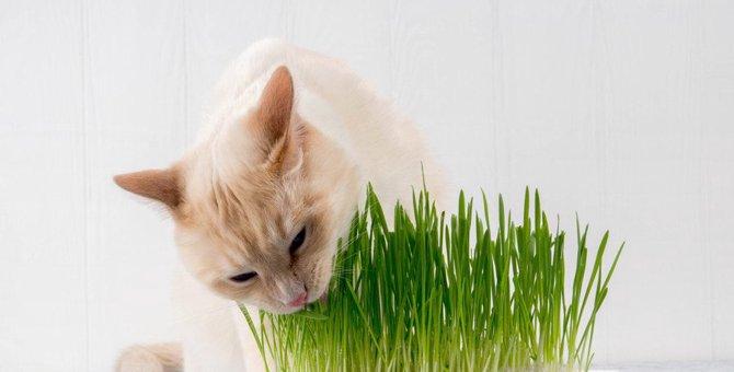 猫草は毛玉ケアに効果的?栽培方法や適切な与え方など