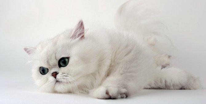 ペルシャ猫の体重と肥満を防止する対処法について
