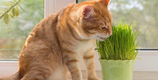 猫草ってなに?猫草の役割と7つの注意点
