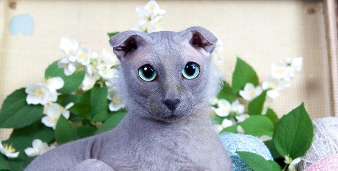 ウクラニアンレフコイ(ユークレイニアンレフコイ)はどんな猫?歴史や特徴、性格や値段について