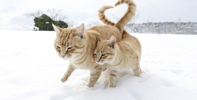 綿棒で猫の発情期の鳴き声を抑える事が出来る!驚くべき方法とは