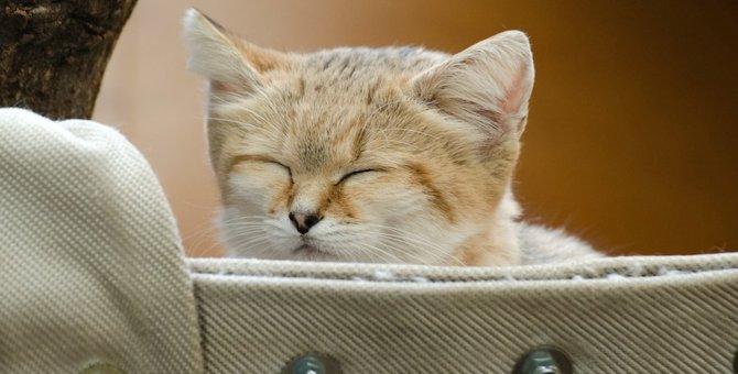 とにかく可愛い!あまり知られていない「スナネコ」ってどんな猫なの?
