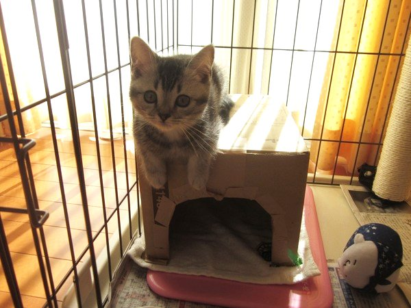 気に入ってくれたかな…?ダンボールハウスを手作りした時の猫の反応
