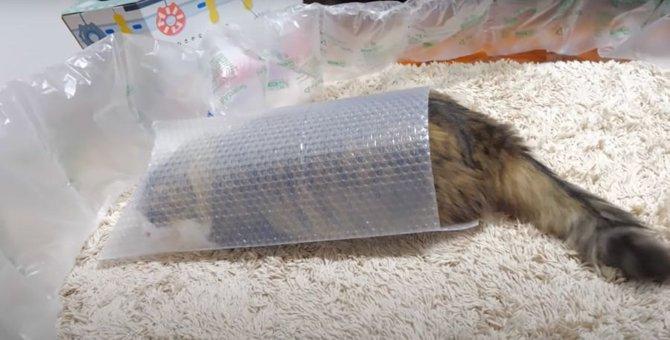 可愛らしい大きなおしりがはみ出ちゃった猫ちゃん♡
