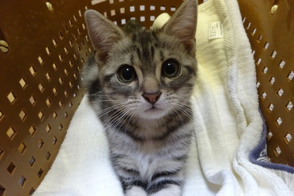 オス猫の去勢手術をする最適な時期や注意点