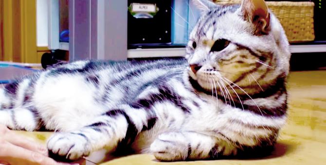 ラブラブ♡手を乗せると乗せ返してくれるまったり癒し系の猫(movie)