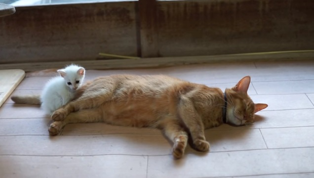 「もう離れにゃい❤」先輩ニャンコにぴったり寄り添う保護子猫♪