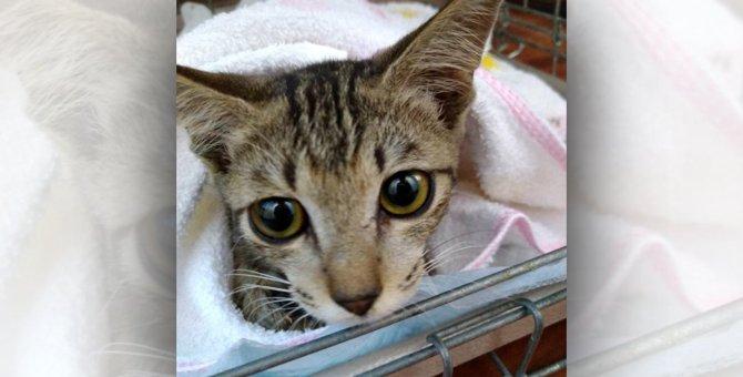骨折して道路の真ん中にいた子猫を保護。人による故意のケガの可能性