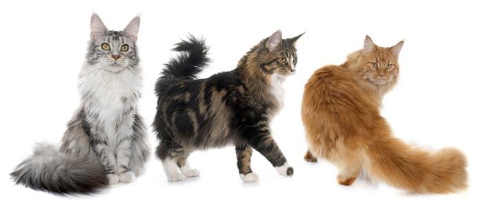 メインクーンと会える猫カフェ特集