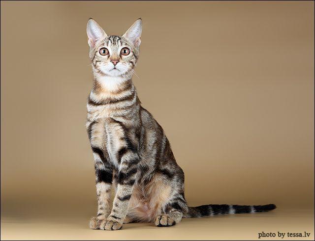 ソコケはどんな猫?特徴や性格、値段やお迎えする方法