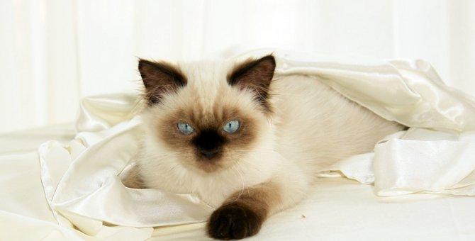ヒマラヤンの子猫の特徴や育て方とは