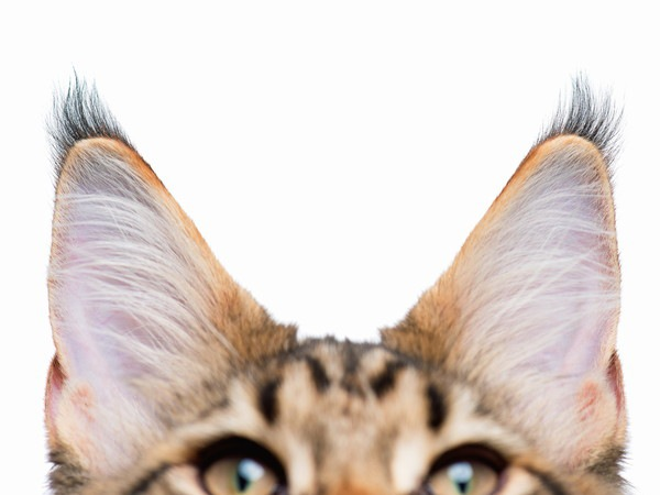 猫の耳先にある「リンクスティップ」とは?どんな猫が持っている?