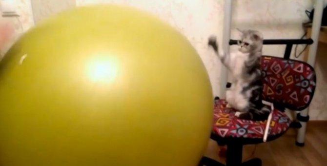 一緒にポンポン!バランスボールを弾ませる猫ちゃん!