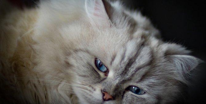猫種ナポレオンの特徴と性格について