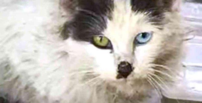 汚れきったオッドアイの野良猫…家族の愛を受けて美猫に成長!