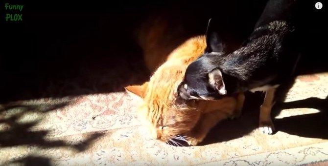 【猫 vs. 犬】動画集!猫族にとって犬族は…うざかわいい?