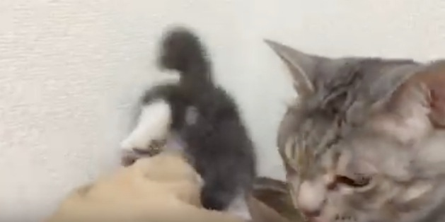 猫の世界でも子猫は可愛い!世話焼き大好きな父猫!