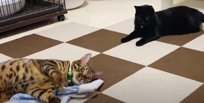 控えめな黒猫さんはまたたびシートを使ってくれるかな?